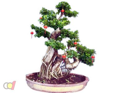 浇水是榕树盆景管理的最重要