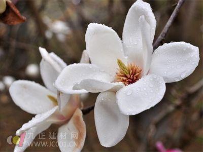 冬天含笑花的养护技巧