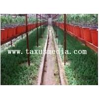 购买纯种美国曼地亚红豆杉,请到青州曼地亚红豆杉研究所