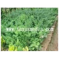 纯种曼地亚红豆杉基地/青州纯种曼地亚红豆杉基地