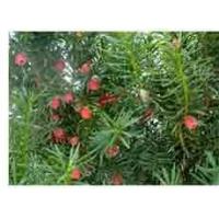 山东纯种红豆杉 青州纯种红豆杉 潍坊纯种红豆杉