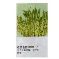武汉百安居—成美活体植物A 1M