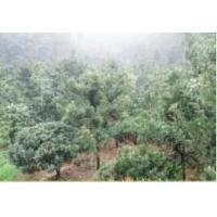 买罗汉松盆景就到长沙誉嘉园林绿化苗圃
