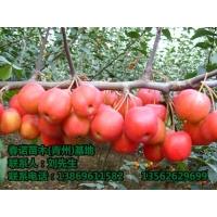 长期供应冬红海棠