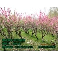 (大量出售榆叶梅)(山东榆叶梅批发)春诺