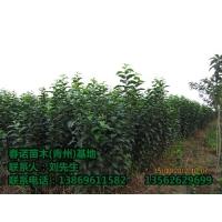 山东冬红海棠种植基地