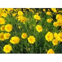 山东青州金鸡菊、山东金鸡菊--馨园花卉