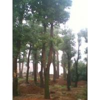 供应十八公分20公分香樟树-宏发园林