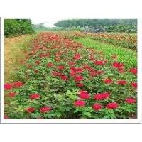 供应【四季草花报价|盆栽苗木行情|水生花卉生产基地】