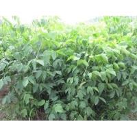 复叶槭供应-青州复叶槭供应-复叶槭生产商