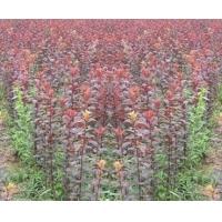 紫叶李种植基地-青州紫叶李种植基地-万绿园艺