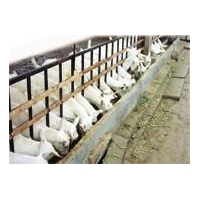 寻养羊寄养处代养羊小的羊崽子卖拉紧器吊梁吊索