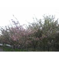 成都温江园林园艺苗木花卉