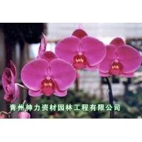 【蝴蝶兰】蝴蝶兰批发 蝴蝶兰批发厂家——青州神力