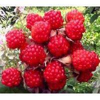 辽宁沈阳树莓、辽宁沈阳速冻树莓及树莓树苗