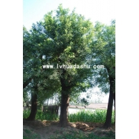 【迎春盆景】【山东迎春盆景】【迎春盆景供应】-绿化大树基地